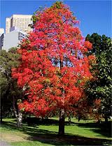 Illawarra Flame Trees