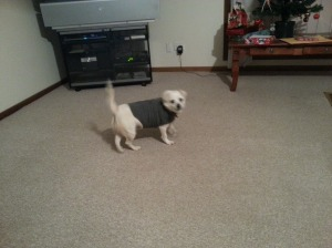 Chienne and her Thundershirt