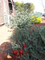 The Desert Pea with the Desert Rose in the background