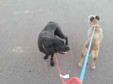 The other dogs that I take walking at times.