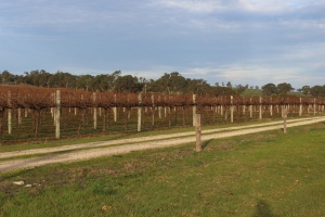 A small part of the many  fields of vines