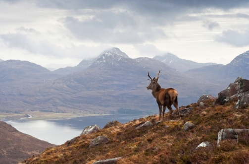 the-celebrated-Monarch-of-the-Glen-red-stag-deer-overlooking-Loch-Torridon-and-the-Wester-Ross-mountain-range-WP