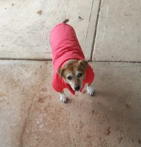 Hmm - Bought Benji a coat - not a success....