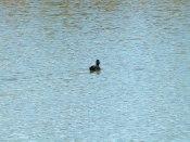 Little black duck
