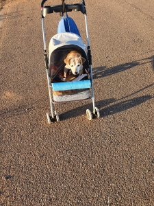 Benji in the Stroller